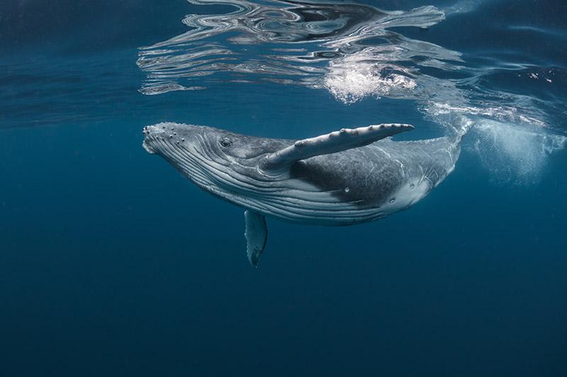 whale under water